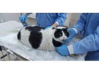 18 kiloluk kedi görenleri hayrete düşürüyor