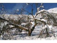 Aşırı kar yağışı kayısı ağaçlarının dallarını kırdı