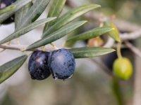 Zeytin ağacından toplandı, yağının kalitesi arttı
