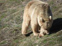 Tunceli'de köy çevresinde gezinen ayılar objektiflere yansıdı