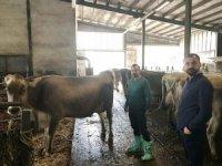 Bademli'ye Avusturya'dan damızlık sığır ithalatı