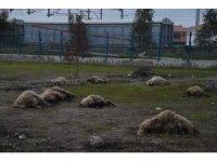 Mersin'de 31 koyun zehirlendi
