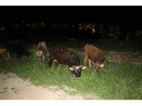 Çoban uyuya kaldı inekler şehre indi