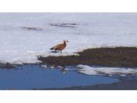 Havaların ısınmasıyla Angut kuşları doğaya çıktı
