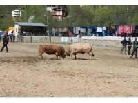 Artvin'de boğalar sezonun ilk yarışı için arenaya çıktı