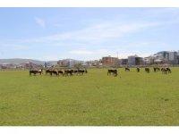 Ardahan'da çiftçiyi kuraklık korkusu sardı