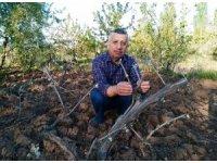 Hisarcık'ta üzüm bağlarını kırağı vurdu