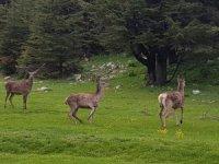 Kahramanmaraş'ta ala geyikler doğaya bırakıldı