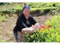 Çay alım sezonu açıldı, üreticiler çaylığa girmeye başladı