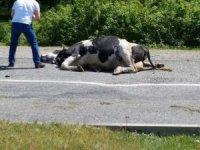 Yola çıkan inek kazaya sebep oldu