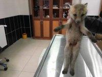 Yaralı yavru kurt ve tavşan tedavi altına alındı
