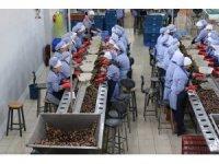 Zonguldak'tan Avrupa'ya yılda bin 200 ton salyangoz ihraç ediyorlar