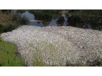 Söke'de toplu balık ölümleri
