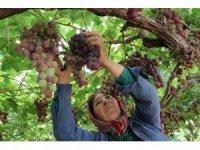 Yılın ilk üzüm hasadı üreticiyi memnun etti