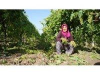 Manisa'daki dolu yağışı üzüm bağlarına zarar verdi