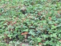 Akçakoca'da yerli çilek pazara indi