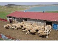 Üniversite mezunu kadın koyun çiftliği kurdu