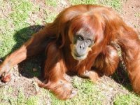 Dünyanın en yaşlı orangutanı öldü