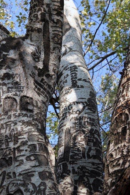Künye Ağacı Tescilleniyor