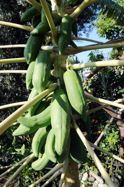 Meraklı Çiftçi Açıkta Tropikal Meyve Yetiştirdi