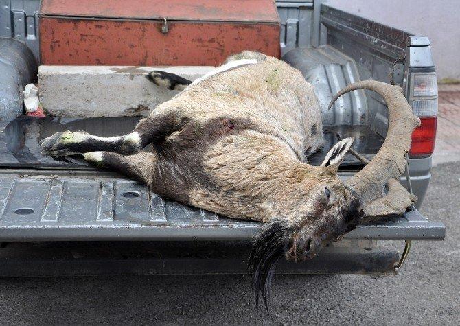 5 Yaşındaki Dağ Keçisi Kaçak Avcının Kurbanı Oldu