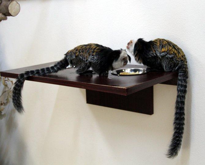 Bursa Zoopark'ın yeni üyeleri sevimli Marmoset maymunları oldu