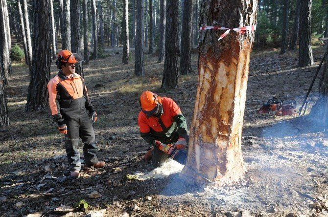 Ormanlar İşte Böyle Gençleştiriliyor
