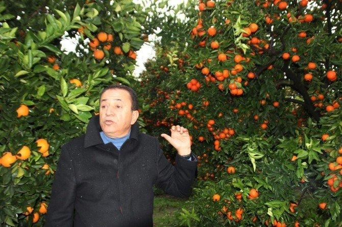 Narenciye Bahçesinde Uygulamalı Ders