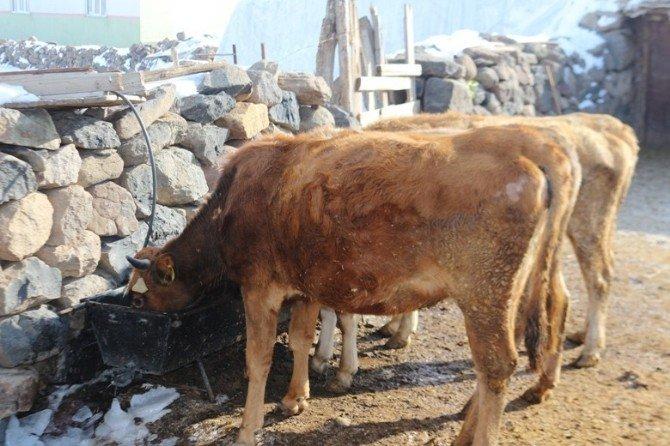 Sığır Çiçeği Hastalığından 10 Hayvan Telef Oldu