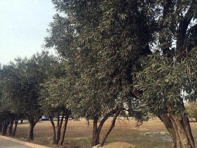 Bahçesindeki Ağaçta Zeytin Toplayan Kadın, Kuş Sanılarak Vuruldu