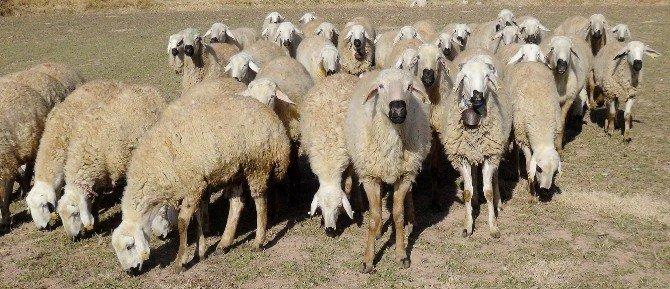 Aksaray'da Hayvan Sayısı Yüzde 500 Arttı