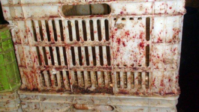 Çadırda Kaçak Tavuk Kesimine Jandarma Baskını