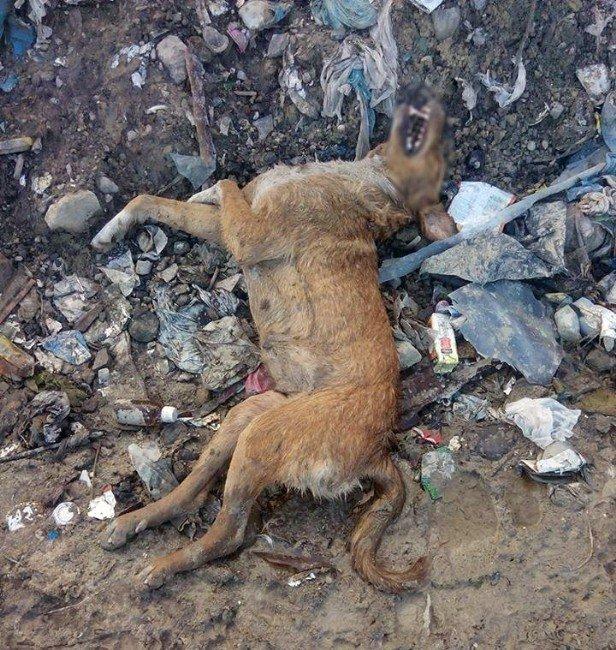 Tasmalı Ve Küpeli Köpekler Çöplükte Ölü Bulundu