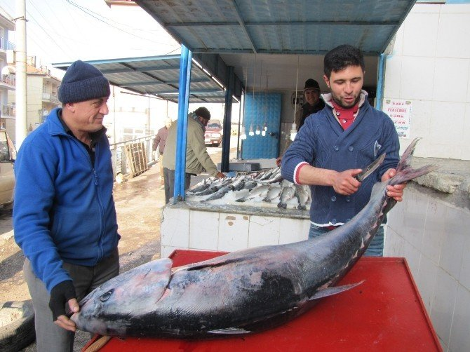 Hisarcık'ta 100 Kiloluk Orkinos Balığı İlgi Odağı