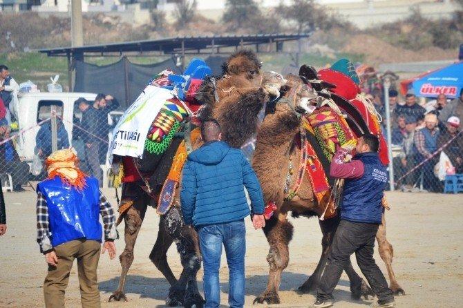 Ayvalık'ta 12.deve Güreşi Festivali Şölen Havasında Gerçekleşti