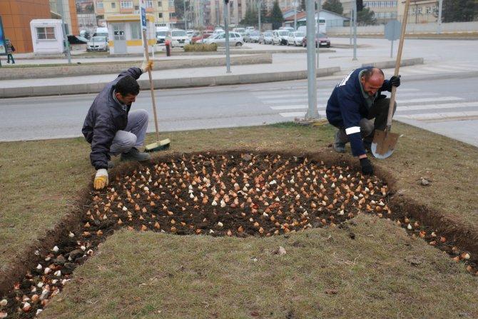 Çankırı Belediyesi, 66 bin adet lale soğanı dikti