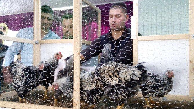 Lapseki'de 2. Tavuk Mezadı Yapıldı
