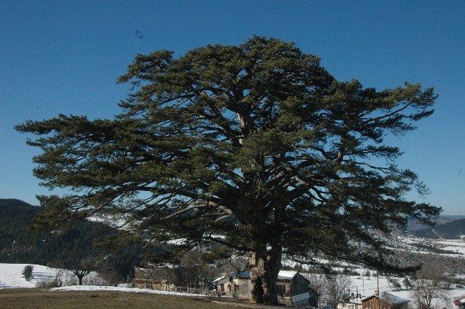 Anıt Ağaç 740 Yaşında