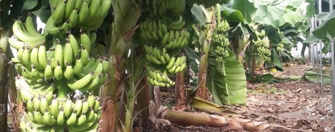Erzin'e ilk kez kurulan muz serasında 30 ton meyve hasat edildi