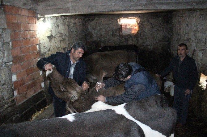 """Zonguldak'ta """"Nepal"""" Adı Verilen Yeni Tür Şap Hastalığı Ortaya Çıktı"""
