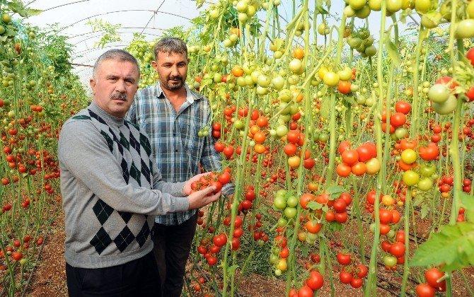 Kriz Endişesi Türk Domatesine Yeni Pazarlar Kazandırdı