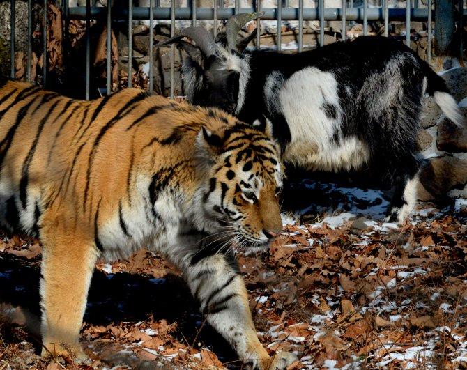 Keçi Timur ve kaplan Amur'un dostluğu beyaz perdeye aktarılabilir