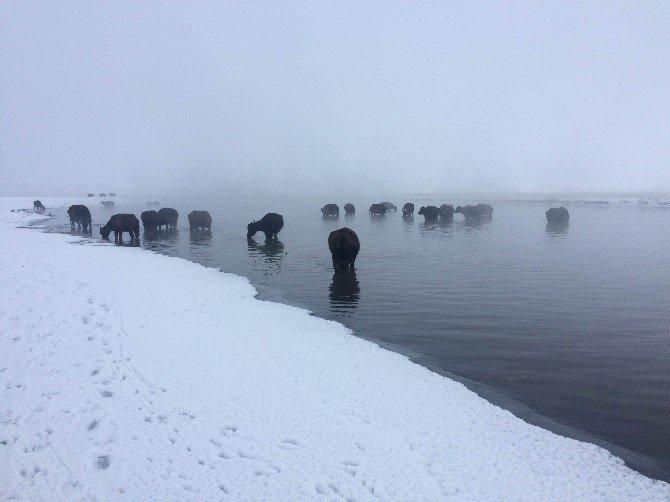 Kışın Dondurucu Soğuğunda Da Taze Ot Yiyorlar