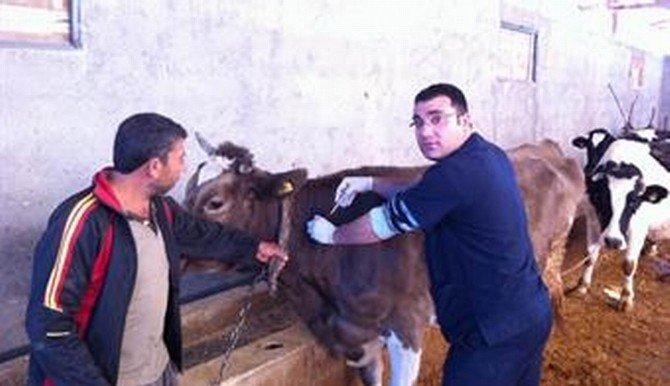 Birecik'te Şap Hastalığına Karşı Aşılama Kampanyası Başladı