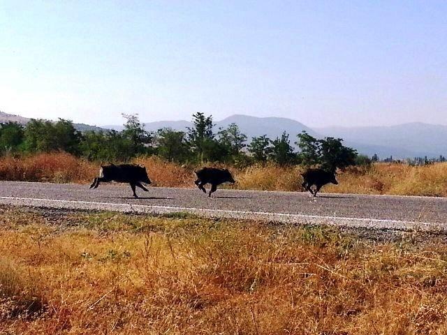 Seydişehir'de Çiftçilerin Başı Domuzlarla Dertte