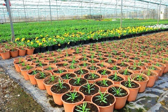 Süs Bitkisi Üretimine Ortaca Ve Dalaman Da Katıldı