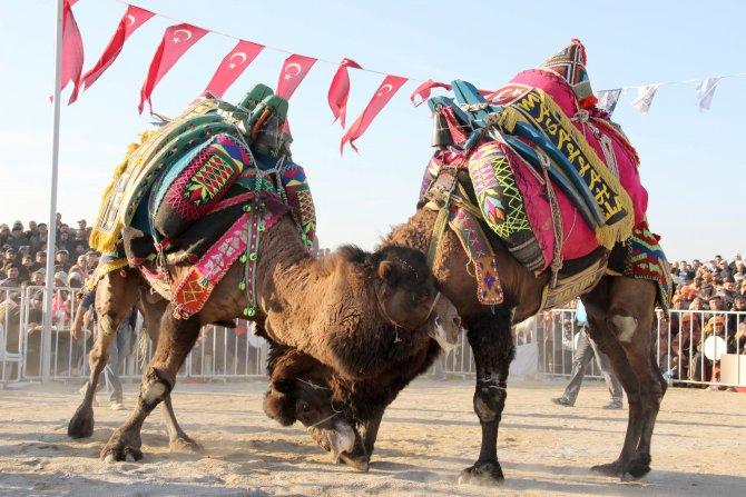 Aydın'da ücretsiz deve güreşi ilgi gördü