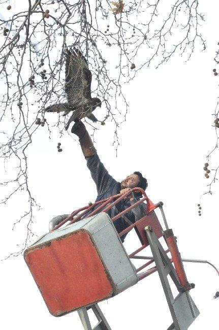 Ağaçta Mahsur Kalan Şahini Kurtarma Operasyonu