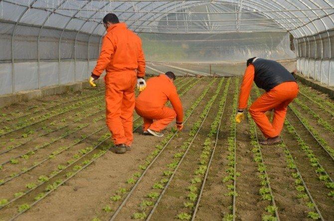 Hükümlüler, Zirai Ve Tarımsal Faaliyetler İle Meslek Ediniyorlar