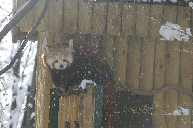 Sibirya Kaplanının Kar Keyfi